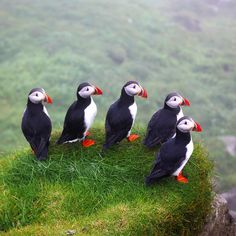 The moment I fell in love with the Faroe Islands! This photo was taken today on Mykines, the westernmost island on the Faroes, only reachable by boat or helicopter and famed for its unbelievable amount of puffins!