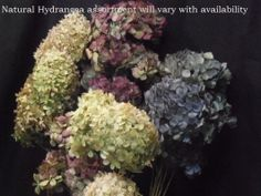 Assorted - Hydrangeas (Natural) Case *