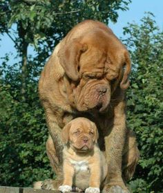 The four breeds most commonly called Mastiffs are the English Mastiff, the Neapolitan Mastiff, the Bull Mastiff and the Tibetan Mastiff. French Mastiff Puppies, Bull Mastiff Dogs, Mastiff Breeds, Giant Dog Breeds, Giant Dogs, Chien Cane Corso, Cute Puppies, Dogs And Puppies, Baby Animals