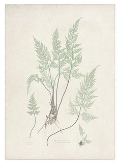 Free Botanical Prints