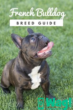 The major breeds of bulldogs are English bulldog, American bulldog, and French bulldog. The bulldog has a broad shoulder which matches with the head. Merle French Bulldog, French Bulldog Tattoo, French Bulldog Facts, French Bulldog Puppies, Dogs And Puppies, Bulldog Pics, French Bulldogs, Funny Cats And Dogs, Cute Dogs