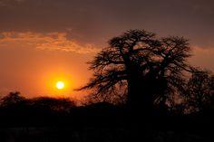 #Sunset silhouetting a Baobab tree.