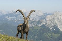 The Alpine ibex (Capra ibex)