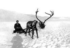 Sigurd Berg med reinsskyss. (Utlånt av Ole Johs. Brye) www.gamleaal.com Black White Photos, Black And White, Album, Old Photos, Norway, Travel Inspiration, Moose Art, Old Things, Horses