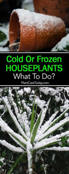 garden care schedule Tips On What To Do With Cold or Frozen Houseplants Hydroponic Gardening, Hydroponics, Organic Gardening, Container Gardening, Indoor Gardening, Gardening For Beginners, Gardening Tips, House Plant Care, Garden Care