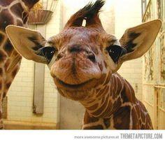 giraffe baby with funny stare closeup (via TheMetAPicture.com)