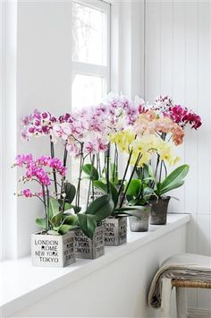 Love the colour of these Phalaenopsis ©Anthura #unlimitedinvarieties