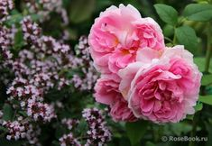 Cottage Rose с душицей