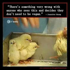 Male chicks are killed, because they are useless to the egg industry. #vegan truth