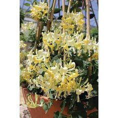 A honeysuckle plant is a great addition to any landscape and will draw abundant wildlife with its sweet, yellow to bright-red blossoms. How To Attract Birds, How To Attract Hummingbirds, Honeysuckle Plant, Honeysuckle Cottage, Wisteria Plant, Hummingbird Plants, Gardening Zones, Growing Grapes, Thing 1
