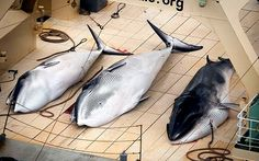 Japanese ship accused of killing protected minke whales - Telegraph - I would have thought that after