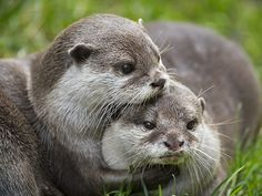 Otter holds her friend close - January 2017 Otters Cute, Baby Otters, Animal Hugs, Spirit Animal, Nature Animals, Animals And Pets, Wild Animals, Cute Baby Animals, Funny Animals