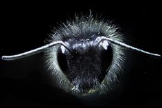 Why are bumblebees so fuzzy? #iNewsPhoto