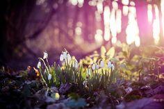 snowdrops in sunrise