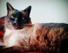 Cleo  Cat | Pawshake Utrecht