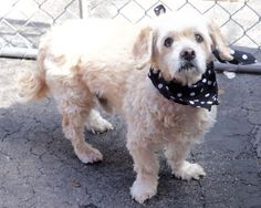 SUPER URGENT ANGELO –  A1068025  NEUTERED MALE, TAN, COCKER SPAN / POODLE MIN, **OWNER SURRENDER 11 yrs OLD**  – ONHOLDHERE, HOLD FOR ID Reason ALLERGIES Intake condition UNSPECIFIE Intake Date 03/19/2016, From NY