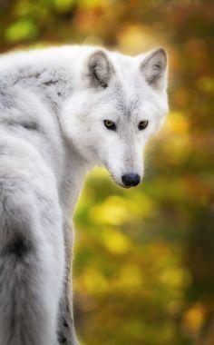 ~~Photograph Hey, you... | Arctic Wolf, Lakota Wolf Preserve | by Eduard Moldoveanu~~