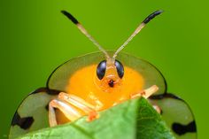 Tortoise beetle (Coleoptera: Cassidae).  By Rundstedt B. Rovillos via Flickr.