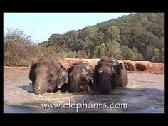 Information about The Elephant Sanctuary in Tennessee Elephant Videos, Elephant Gif, Elephant Walk, Elephant Love, Fun Things, Things To Sell, Elephant Sanctuary, Animal Tracks, David Lee