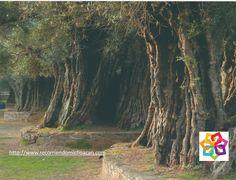MICHOACÁN MÁGICO Te habla sobre el convento Franciscano en Tzintzuntzán, este lugar se remonta al siglo XVI, se dice que los olivos que se encuentran en su atrio los plantó Vasco de Quiroga. HOTEL ESTEFANIA http://www.hotelestefania.com.mx/
