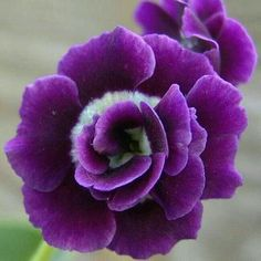 Purple Rose.
