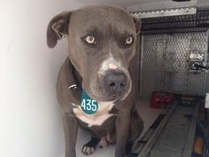 ~~TIME'S UP!!~~ 05/13/16--HOUSTON- -- rescue only - super urgent - needs a humongous miracle to get out alive!! - --EXTREMELY HIGH KILL FACILITY -This DOG - ID#A458972 I am a neutered male, blue and white Pit Bull Terrier mix. My age is unknown. I have been at the shelter since May 13, 2016. This information was refreshed 22 minutes ago and may not represent all of the animals at the Harris County Public Health and Environmental Services.