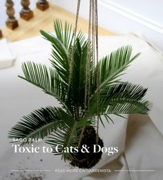 Sago palm is extremely toxic to dogs and cats—Gardenista
