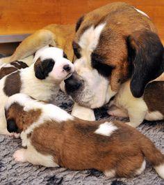 Bernard Dog Mother and her Baby Puppies – True Love! Bernard Dog Mother and her Baby Puppies – True Love! Baby Puppies, Cute Puppies, Cute Dogs, Dogs And Puppies, Cute Babies, Cute Baby Animals, Funny Animals, St Bernard Puppy, Young Animal
