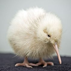 The world's only known white kiwi has survived surgery to remove stones from her gizzard, reports a New Zealand Wildlife Centre. (Manukura, the little white kiwi, is not an albino but a rare colour. Animals And Pets, Baby Animals, Cute Animals, Unique Animals, Baby Kiwi, Kiwi Bird, Photo Animaliere, Flightless Bird, Nature