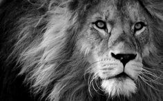 Modern Giclee Canvas Prints Stretched Artwork Black and White Lion Pictures to Photo Paintings on Canvas Wall Art for Home Office Decorations Wall Décor XXLarge Black And White Lion, Animals Black And White, Free Black, White White, White Man, Canvas Wall Art, Wall Art Prints, Canvas Prints, Estilo Tribal