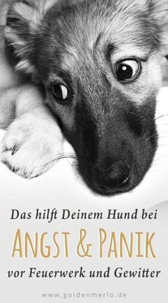 Silvester-Angst beim Hund: Was wirklich hilft This helps your dog [[ Angst & Panik ]]fireworks and thunderstorms ▶ Restlessness, trembling and panting are the classic symptoms. From the first bang your dog wants to dissolve in air Yorkie, Animals And Pets, Cute Animals, New Years Eve Fireworks, Pet Life, Nouvel An, Happy Dogs, All Dogs, Rhodesian Ridgeback
