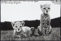 PETER BEARD Cheetah cubs orphaned at Mweiga nr. Nyeri for The End of the Game, 1968
