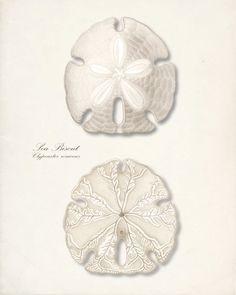vintage seashell prints