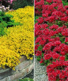Stonecrop in 2 Colours