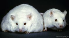The obese mouse was given gut bacteria from an obese person...