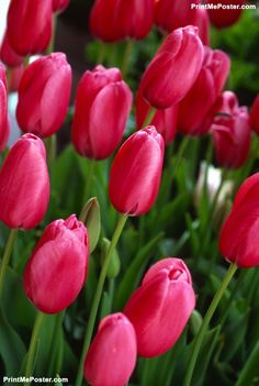 Poster of Pink Tulips, Nature Posters, #poster, #printmeposter, #mousepad, #tshirt