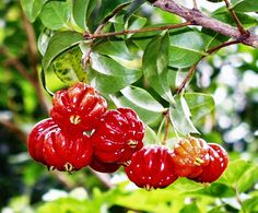 Surinam cherry ginger jam Tasting Hawai'i With Moloka'i Chef James Temple: Surinam Cherries In Hawaii Citrus Trees, Fruit Trees, Trees To Plant, Tropical Fruits, Tropical Plants, Exotic Fruit, Cherry Jelly Recipes, Vegetable Animals, Ginger Jam