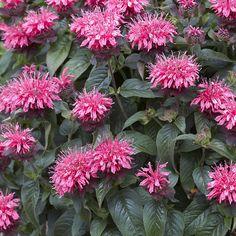Väriminttu Pink Lace - Viherpeukalot