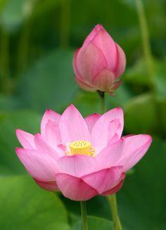 旬の花 Exotic Flowers, Real Flowers, Pink Flowers, Beautiful Flowers, Lotus Bud, Pink Lotus, Blossom Flower, My Flower, Lotus Flower Images