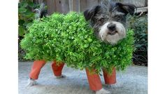chia pet dog halloween costume!