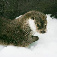 otter in Skansen Otter Love, Latin Words, Brown Bear, Otters, Animals, Instagram, Animales, Otter, Animaux