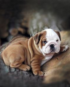 The major breeds of bulldogs are English bulldog, American bulldog, and French bulldog. The bulldog has a broad shoulder which matches with the head. The Animals, Cute Baby Animals, Funny Animals, Loyal Dog Breeds, Loyal Dogs, Pets, Pet Dogs, Dog Cat, Doggies