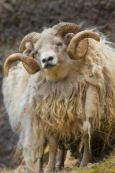 petitpoulailler:  exoticana:Icelandic sheep, southern Iceland  Jim Zuckerman photography