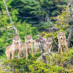 Each wolf pack or extended family that I have been fortunate to spend time with along Canada's #greatbearrainforest seem to possess as much of a unique personality as any individual might.  The way they hunt, socialize, play - choice of prey - tolerance of other species and interaction between them change dramatically between packs, even within similar ecosystems.  Some families will not tolerate a bear in their midst, others hunt side by side and seem almost indifferent to their presence…