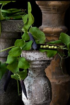 Purple Podded Peas  © Lynn Karlin