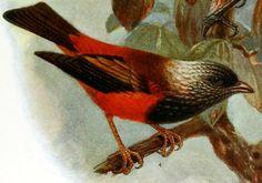 Ciridops anna, ula-ai-hawane - Wikipedia, la enciclopedia libre