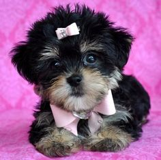 Tiny Shorkie PuppyShe is a Doll!! SOLD Moving to Oregon!