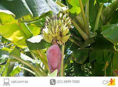 Larva da broca da bananeira