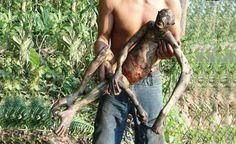 BRAZIL - Incredible Creature Found Dead on Amazon - It seems an Alien! (VIDEO)