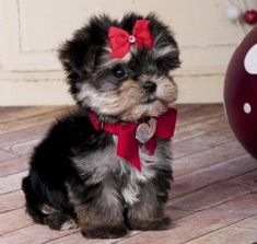 I know I'm cute and all, but you know the moment your out of sight... I'm gonna shred these pretty little bows!!!! #morkie #dogs #cute